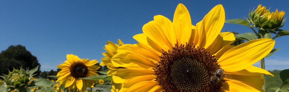 Bild solrosor och blå himmel